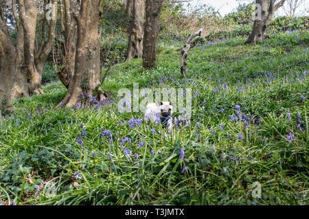 Newlyn, Cornwall, UK. 10th Apr, 2019. UK Weather. The mild weather has brought out the bluebells in the wood at Newlyn, on another warm, sunny day in Cornwall. Out and about this morning in the wood, was Titan the pug pup. Credit: Simon Maycock/Alamy Live News - Stock Photo