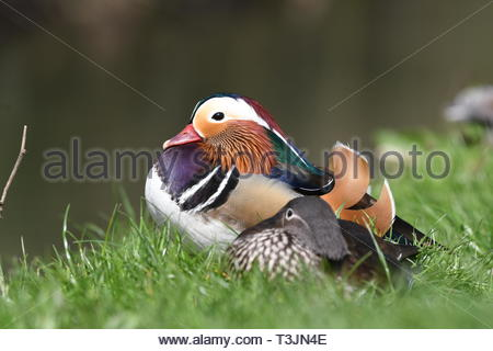 Arundel, West Sussex, UK. Wednesday 10th April 2019. A pair of Mandarin Ducks sit by a stream on a partly cloudy but bright and cool morning in Arundel, near the South Coast. Credit: Geoff Smith/Alamy Live News - Stock Photo