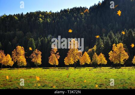 Trees in autumnal light at Schwangau, OstSwabia, Bavaria, Germany, Europe - Stock Photo
