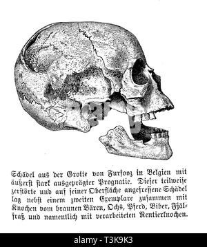 Skull from the Furfooz Grotto in Belgium with extremely pronounced prognosis. This partially destroyed skull, which had been eaten on its surface, lay together with a second specimen together with bones of the brown bear, ox, horse, beaver, fjeld food and especially with processed reindeer bones., anonym - Stock Photo