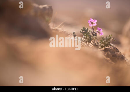 flowering Musk storksbill (Erodium moschatum) flowers. Photographed in Israel in February - Stock Photo