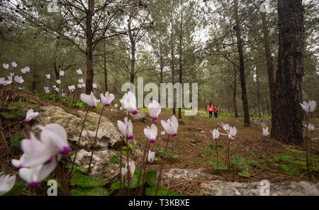 Flowering Persian Violets (Cyclamen persicum). Photographed in Manashe Forest, Israel in March. Out of focus children hiking in background - Stock Photo