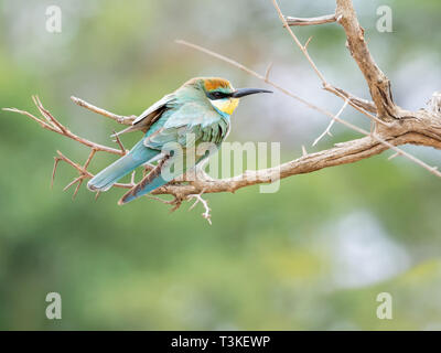 A juvenile European Bee-eater perched on a branch in Southern African savanna - Stock Photo