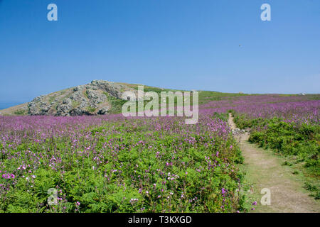 footpath on Skomer island Pembrokeshire Wales - Stock Photo