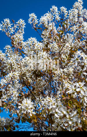 Service berry fully blooming in springtime - Stock Photo