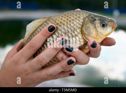 Crucian carp in young lady's hands - Stock Photo