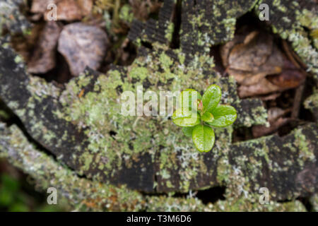 Close-up of a young and small lingonberry on top of a tree stump in the autumn, viewed from above. - Stock Photo