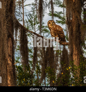 A Barred owl sitting on a limb among trees covered in spanish moss. - Stock Photo