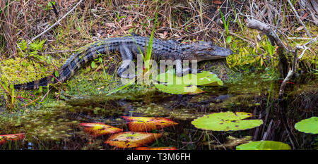 A small American alligator resting on bank, with lily pads in foreground.  Horizontal image. - Stock Photo