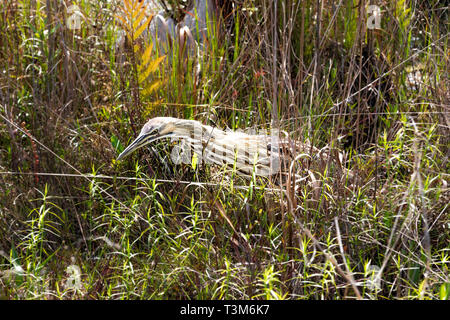 An American bittern wading and feeding in the Okefenokee swamp. - Stock Photo