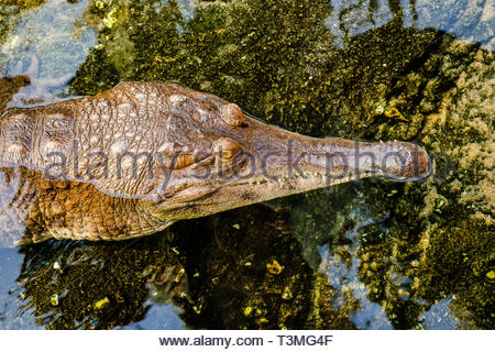 Portrait of a West African slender-snouted crocodile in clear shallow water - Stock Photo