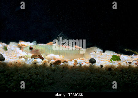 Grey banded Loach, Nemacheilus selangoricus - Stock Photo
