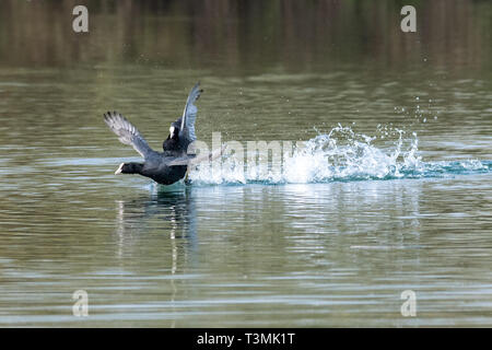 Coots (fulica atra) showing aggressive fighting territorial behaviour in early spring - Stock Photo