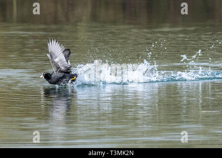 Two coots (fulica atra) running in unison and showing aggressive fighting territorial behaviour in early spring - Stock Photo