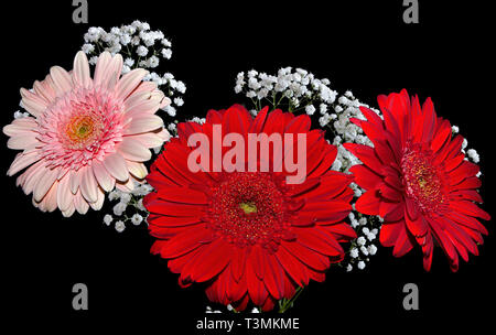 Bright bouquet of beautiful red and pink gerbera flowers decorated with branch of white gypsophila close up on black background - Stock Photo