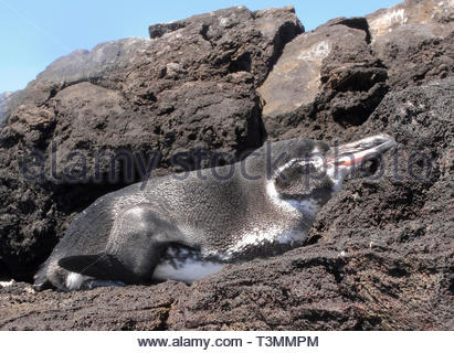 Galapagos Penguin (Spheniscus mendiculus), sleeping at rocky coast, Bartolome island, Galapagos Achipelago, Ecuador - Stock Photo