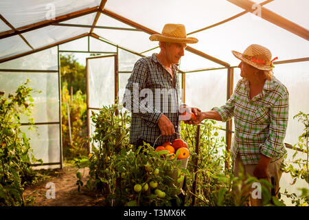 Senior woman and man gathering crop of tomatoes at greenhouse on eco farm. Farming, gardening concept - Stock Photo