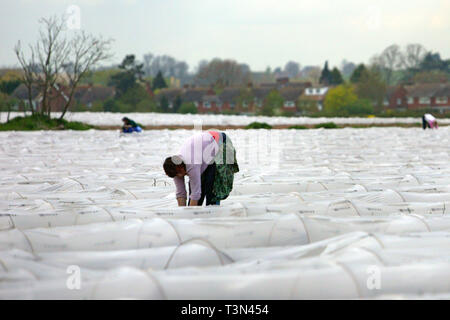 Young migrant workers, students from the Ukraine, picking asparagus from plastic polytunnels in a field. Warwickshire.  27/04/2006 - Stock Photo