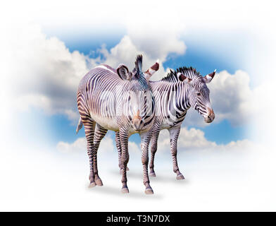 A group of zebras isolated on the white background in Africa. Behind them is the blue sky. It is a natural background with African animals. - Stock Photo