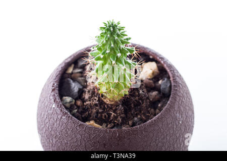 Small home cactus. Home cactus in a flowerpot. - Stock Photo