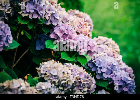 Beautiful vivid multi colored rhododendron plants in bloom in park - closeup macro shot  - Stock Photo