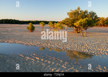 Mangroves growing on sandy tidal flat at Port Smith Western Australia - Stock Photo