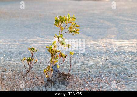 Young mangroves growing on sandy tidal flat at Port Smith Western Australia - Stock Photo