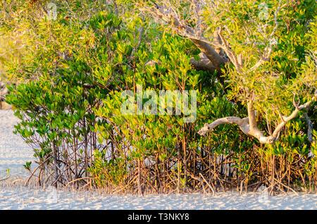 Stilt-rooted mangrove (Rhizophora stylosa) growing on sandy tidal flat at Port Smith Western Australia - Stock Photo