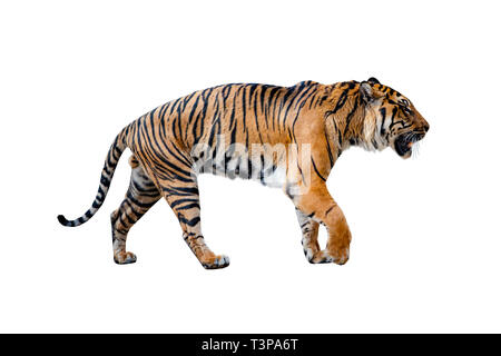 Close uo of tiger isolated on the White background. - Stock Photo