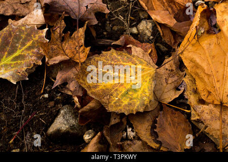 Detailed close up photo of leaves in autumn outside in nature in New York focusing on the details of the water droplets on leaves left after rainfall. - Stock Photo