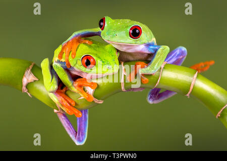 Two Red Eye Tree frogs - 'Best of Friends' or for a 'Get Well' card or a Valentines Day card - space to add hearts.With Release. - Stock Photo