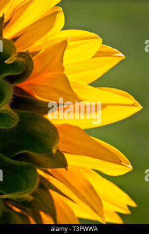 A back-lit Sunflower head showing flower petal structure and artistic light and shade. - Stock Photo