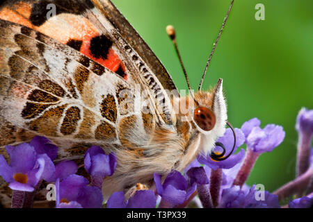 Macro close up of a small tortoiseshell butterfly  on budlea flowers. - Stock Photo