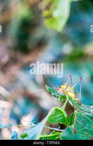 Close-up of a saddle-backed bush cricket, Ephippiger ephippiger feeding on a lime tree leaf, blurred natural background, at Dimitrovgrad, Bulgaria - Stock Photo