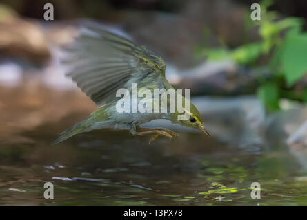 Wood Warbler flying over a water pond - Stock Photo