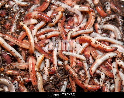 A bag of Tiger Worms ready to produce compost in a wormery. - Stock Photo