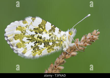 The wonderful Orange tip (Anthocharis cardamines) - Stock Photo
