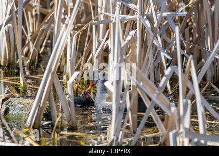 Adult moorhen (Gallinula chloropus) tending to a young duckling amongst marshland reeds - Stock Photo