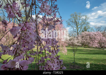 Weeping cherry tree blossoms at springtime - Prunus subhirtella pink flowers on flowering trees against a blue sky - Easter flowers & spring blossom - Stock Photo