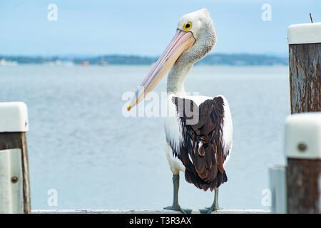 Pelecanus conspicillatus, Australian pelican standing on pier - Stock Photo