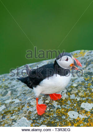 Papageitaucher (Fratercula arctica), Runde, Romsdal, Norwegen | Atlantic puffin (Fratercula arctica), Runde, Romsdal, Norway - Stock Photo