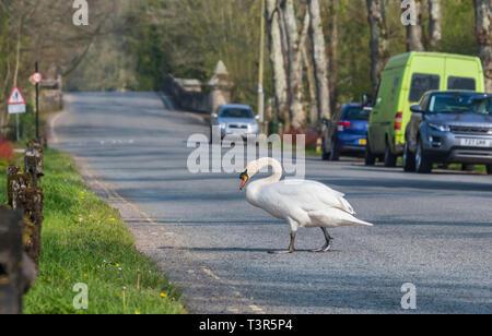 Adult White Mute Swan (Cygnus olor) walking across a road in West Sussex, UK. - Stock Photo