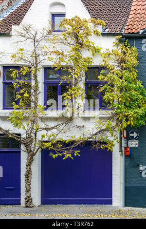 Impressing tree growing around sharply white medieval house with brightly navy blue windows, door and garage door found on one of the Bruges streets - Stock Photo
