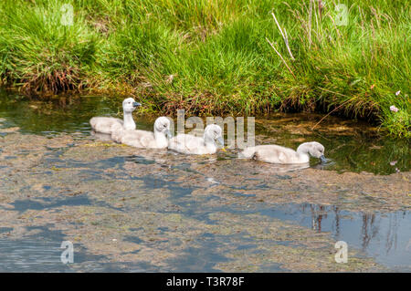 Four mute swan cygnets, Cygnus olor, on Loch Bì,South Uist,Outer Hebrides - Stock Photo
