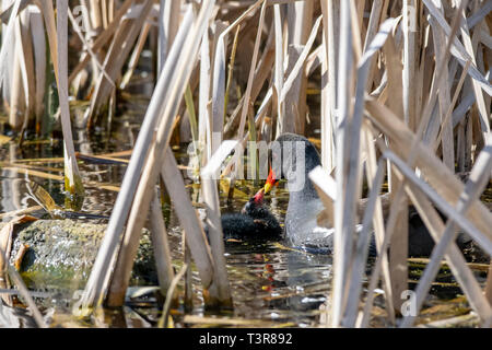 Adult moorhen (Gallinula chloropus) tending to a young duckling amongst marshland reeds - Stock Photo