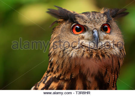 Great Horned Owl (Bubo virginianus), portrait of adult, Florida, USA - Stock Photo