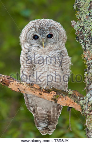 Young Tawny Owl or Brown owl (Strix aluco), young on a branch of a tree, Bergen, Norway - Stock Photo