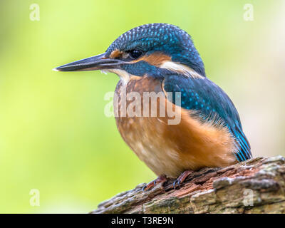 Eurasian kingfisher (Alcedo atthis) close up. This bird is a widespread small kingfisher with distribution across Europe, Asia and North Africa. It is - Stock Photo