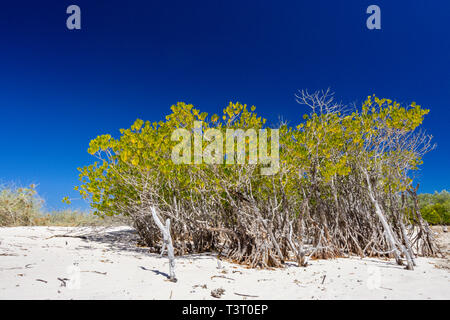 Mangroves growing on sandy beach at upper edge of intertidal zone at Port Smith Western Australia - Stock Photo