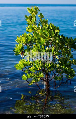 Stilt-rooted mangrove (Rhizophora stylosa) at high tide growing on rocky shoreline Cape Leveque, Western Australia - Stock Photo